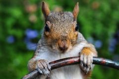 Eichhörnchen Steuermann