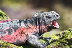 Drusenkopf Galapagosdrache